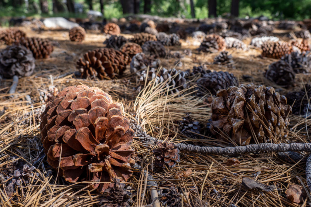 Sequoia Zapfen vs kleine Zapfen