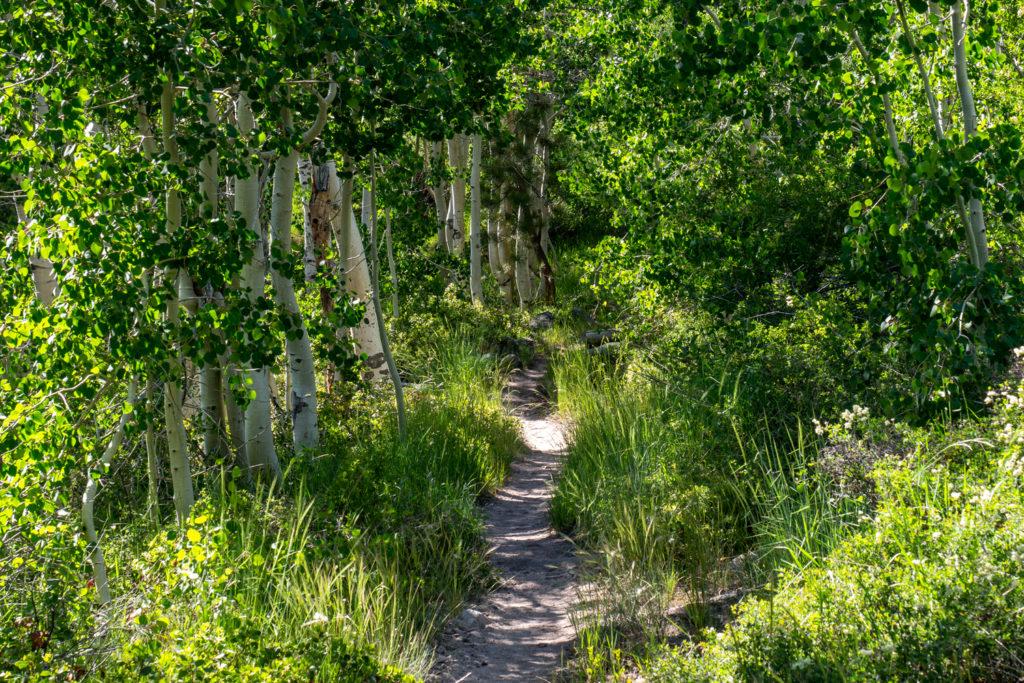 Birkenwald im Palisade Creek Valley