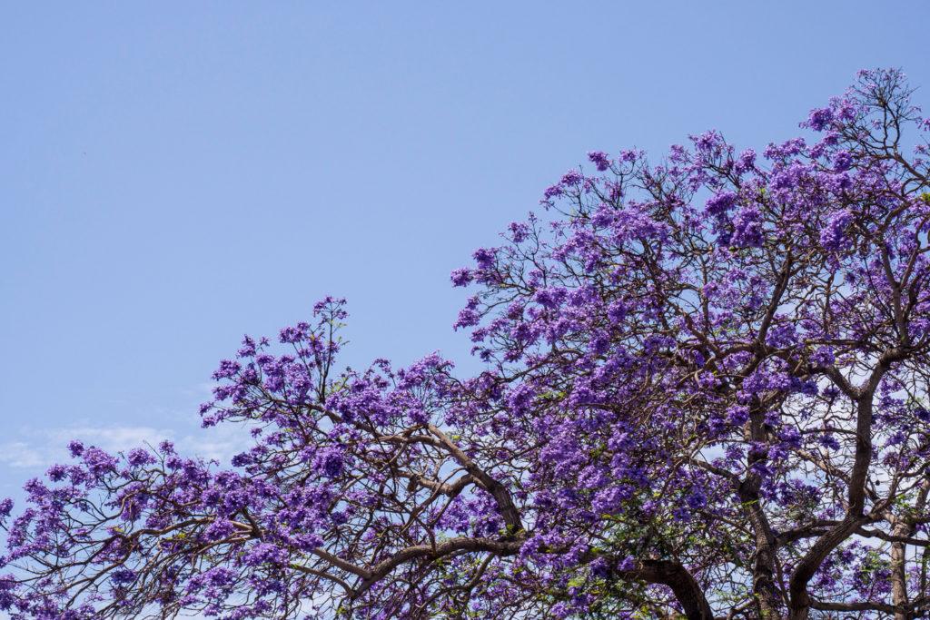 Lila-Blaue Bäume?