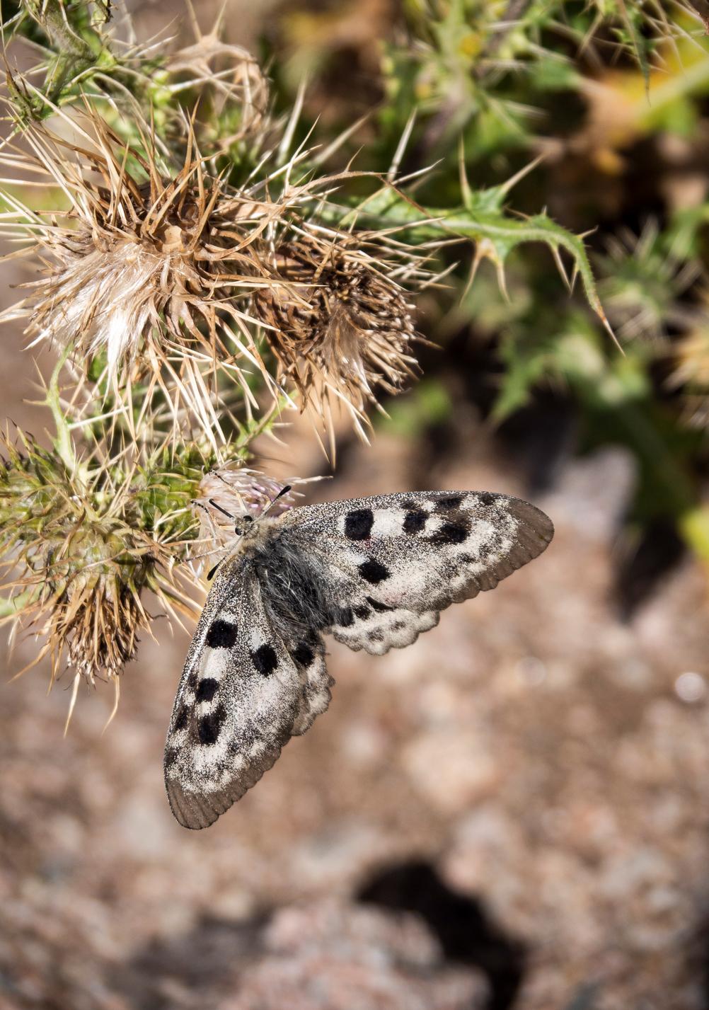 Schmetterlink im Karakol-Tal in Kirgistan