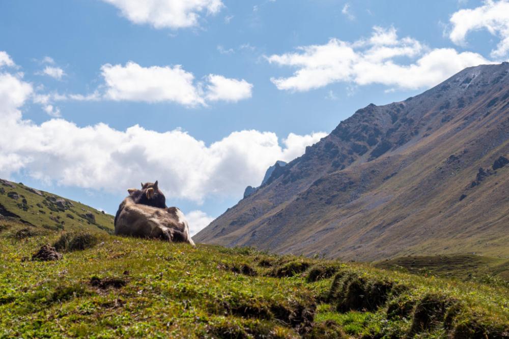 Kuh in Kirgistan